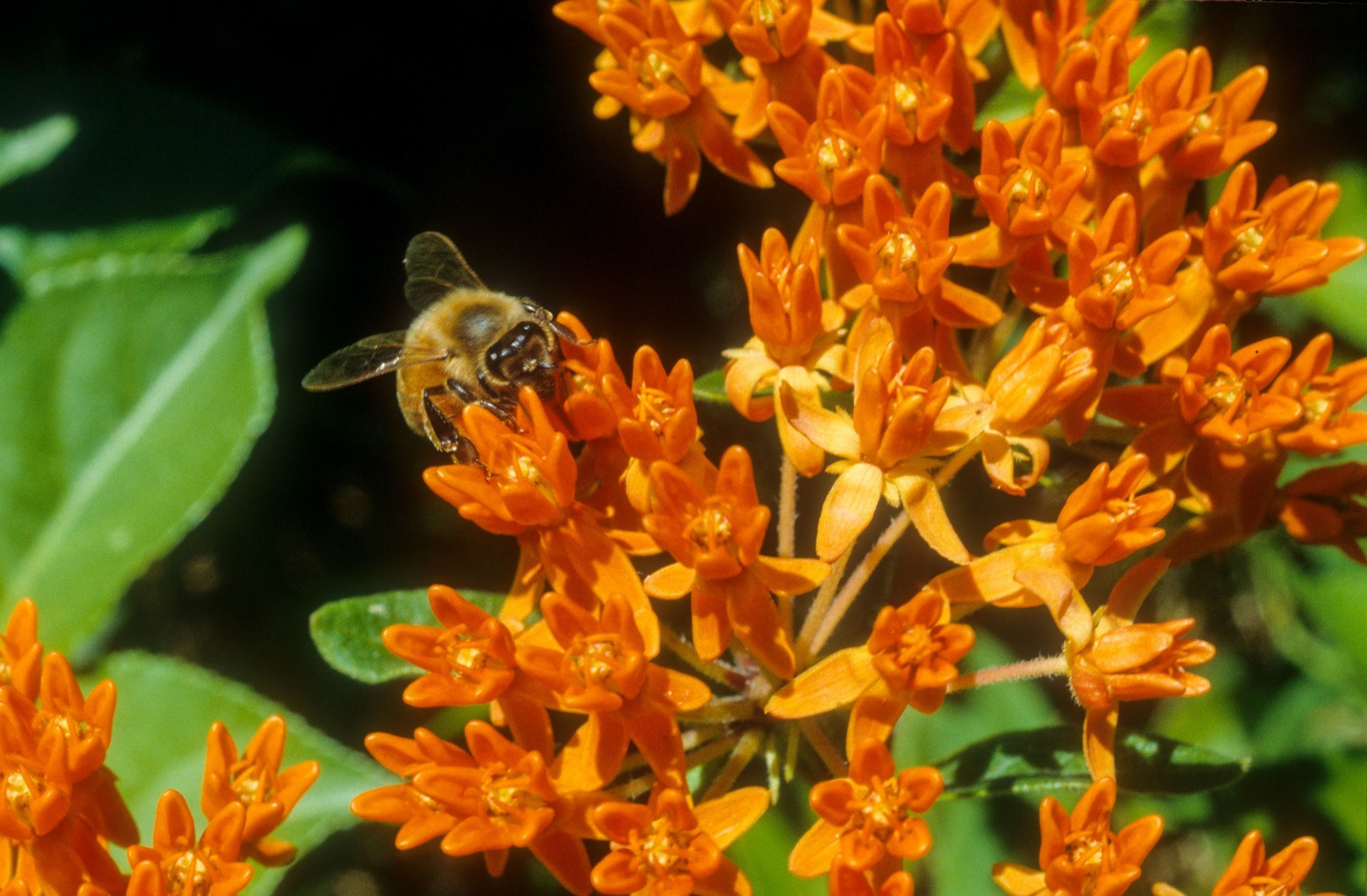 bumblebee on butterflyweed for healthy yard page